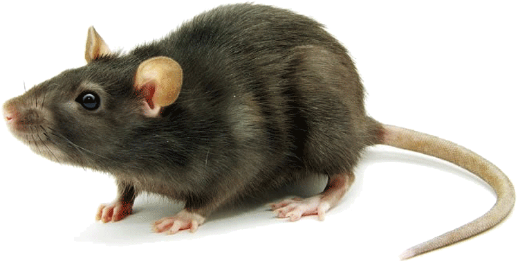 Image result for rat